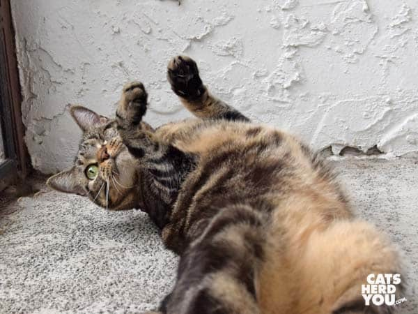 one-eyed brown tabby cat rolls on cement