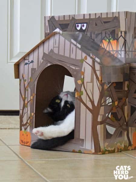 black and white tuxedo cat enjoys haunted house