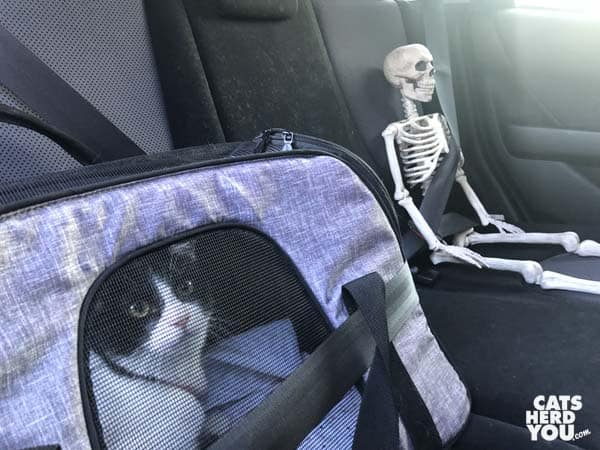 black and white tuxedo cat and toy skeleton are seat belted into car