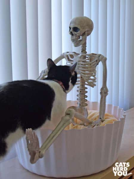black and white tuxedo cat looks at skeleton in her cupcake bed