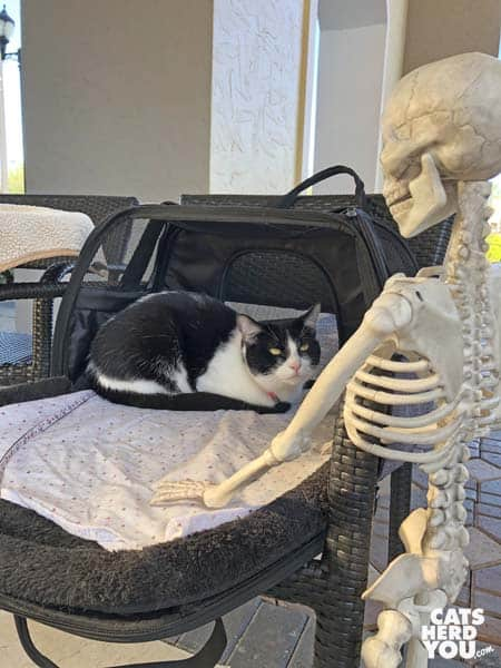 blakc and white tuxedo cat looks up at tuxedo skeleton from carrier