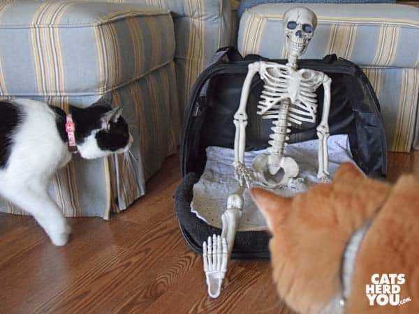 black and white tuxedo cat and orange tabby cat look at toy skelton in cat carrier