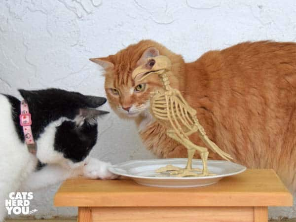 orange cat and black and white tuxedo cat look at skeleton of bird on plate