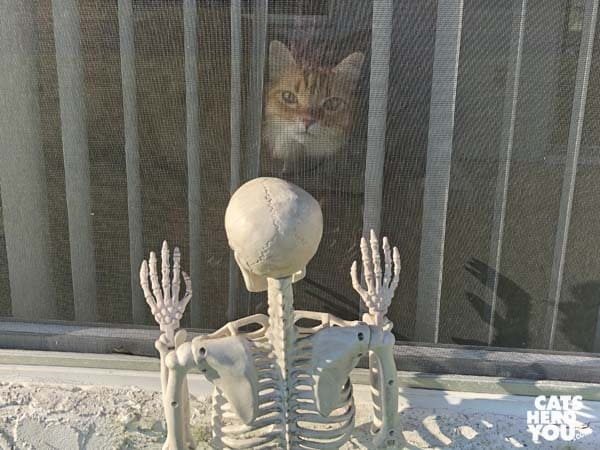 orange tabby cat looks out window at toy skeleton