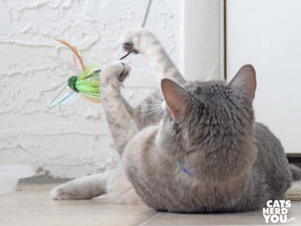 gray tabby cat plays with wand toy