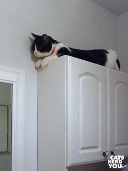 black and white tuxedo cat looks down from top of cabinet