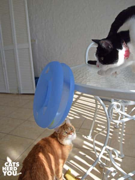 black and white tuxedo cat knocks trackball toy off table as orange tabby cat looks on