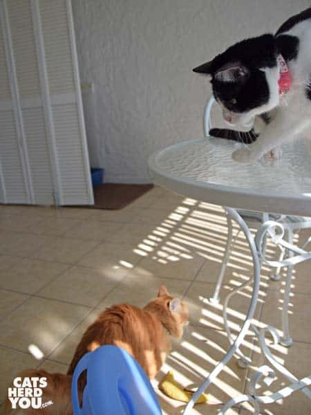 black and white tuxedo cat knocks trackball toy off table as orange tabby cat begins to flee
