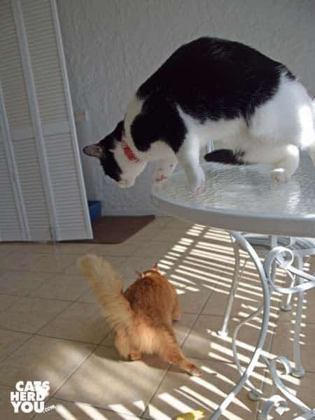 black and white tuxedo cat leaps off table in pursuit of orange tabby cat