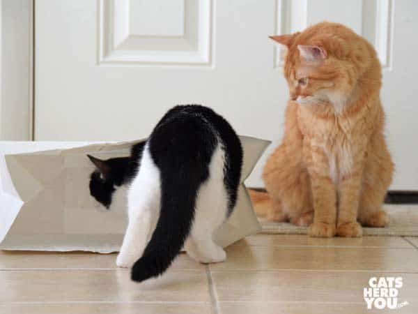 black and white tuxedo cat looks into paper bag as orange cat looks on