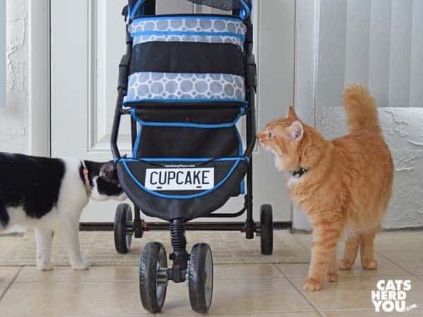 black and white tuxedo cat and orange tabby cat look at stroller