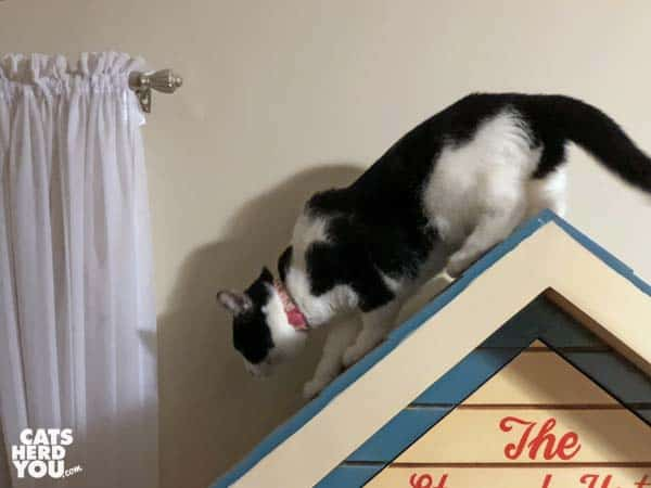 black and white tuxedo cat steps down from peak of roof