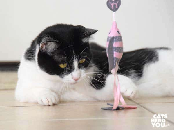 black and white tuxedo cat plays with wand toy