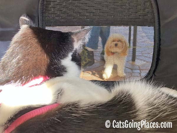 black and white tuxedo cat looks out of carrier at small dog