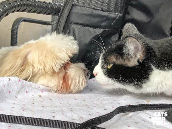 black and white tuxedo cat is nose to nose with small, white dog
