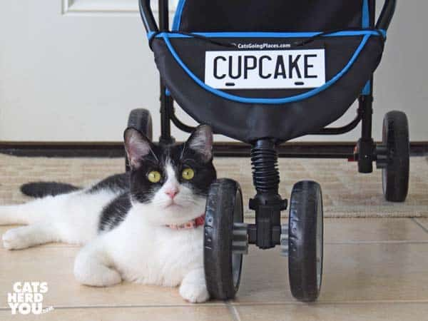 black and white tuxedo cat beside stroller