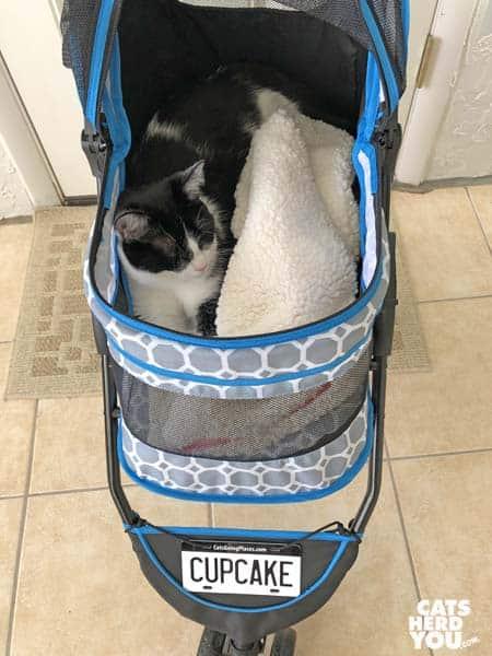 black and white tuxedo cat in stroller
