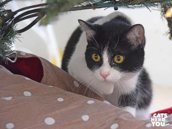 black and white tuxedo cat stalks from behind Christmas tree