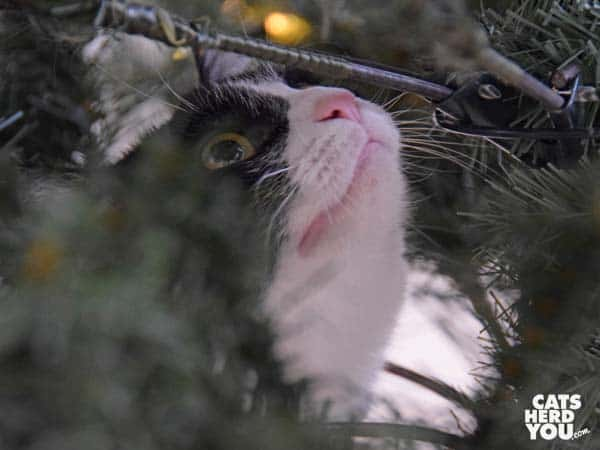 black and white tuxedo cat looks up among Christmas tree branches