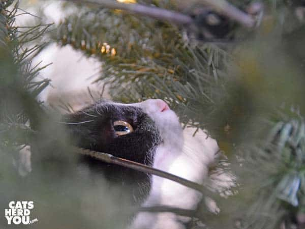 black and white tuxedo cat looking up among Christmas tree branches