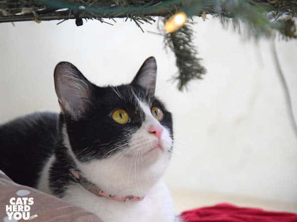 black and white tuxedo cat looks up at Christmas tree