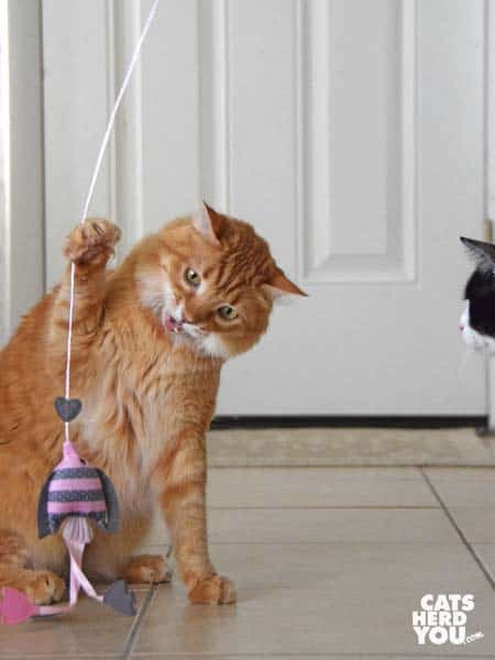 orange tabby cat plays with pink wand toy as black and white tuxedo cat looks on