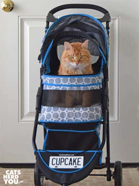 orange tabby cat in stroller