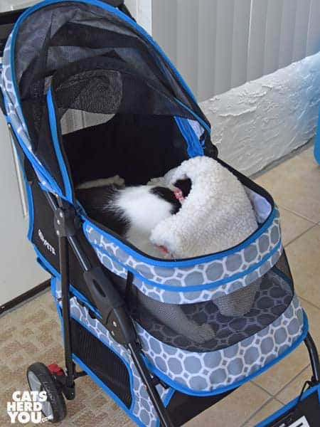 black and white tuxedo cat wrestles with blanket in carrier