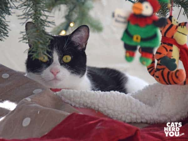 black and white tuxedo cat sits with blanket under tree