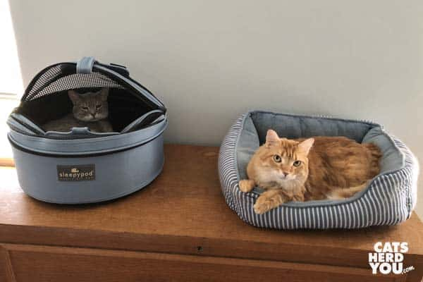 gray tabby cat and orange tabby cat hang out in their respective beds