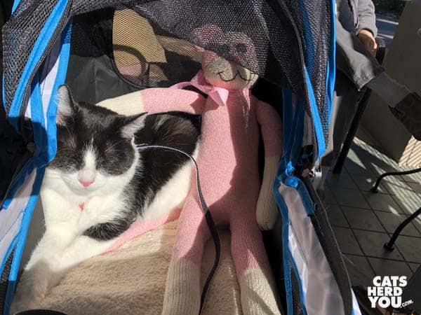 black and white tuxedo cat naps in the sun in stroller with sock monkey/cat