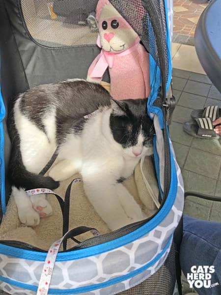 black and white tuxedo cat sleeps in the lap of sock monkey/cat
