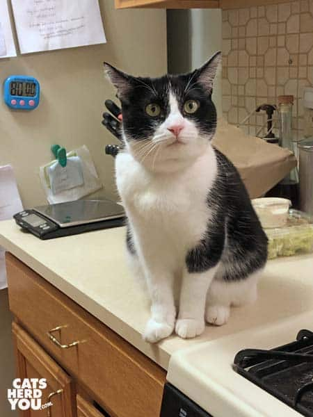 black and white tuxedo cat sits on counter
