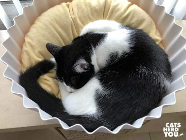 black and white tuxedo cat in cupcake bed