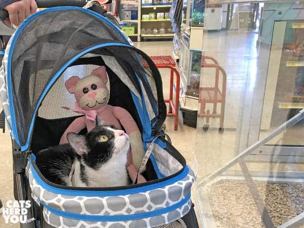 black and white tuxedo cat rides in stroller through pet store