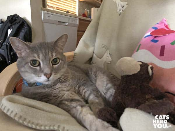 gray taby cat relaxes with stuffed animals