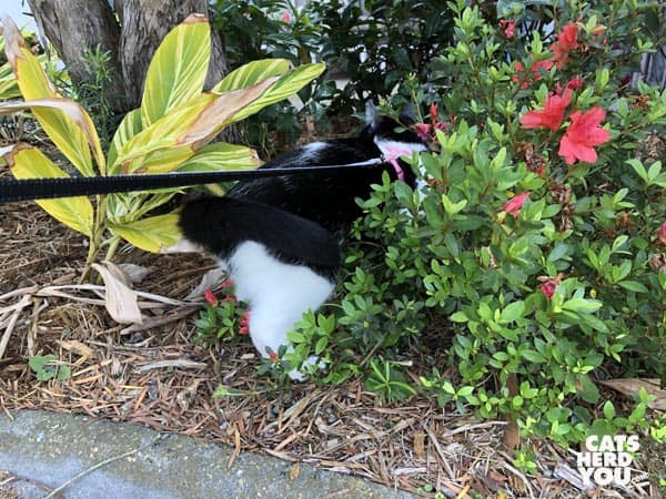 black and white tuxedo cat goes halfway into shrubs