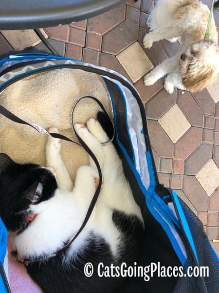 black and white tuxedo cat naps in stroller while small dog looks on