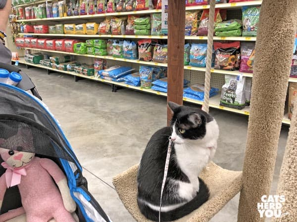black and white tuxedo cat looks at sock monkey in stroller