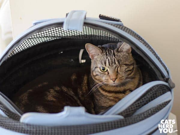 one-eyed brown tabby cat in carrier