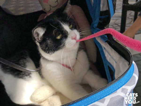 black and white tuxedo cat plays with pink worm toy