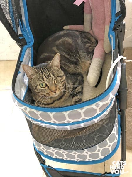 one-eyed brown tabby cat in stroller