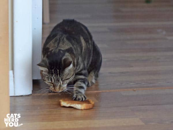 one-eyed brown tabby cat munches toast on the floor