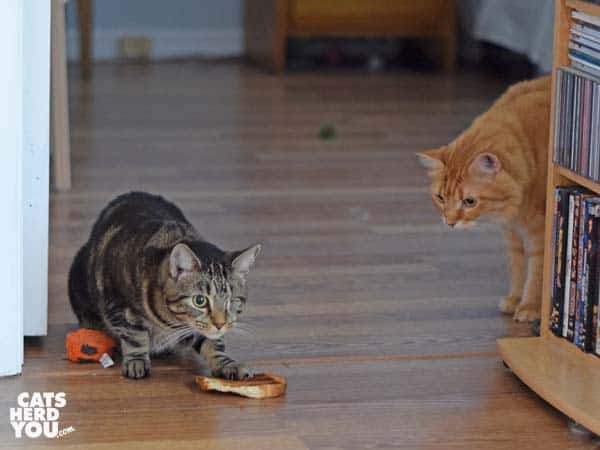 one-eyed brown tabby cat hovers over toast on the floor as orange tabby cat approaches