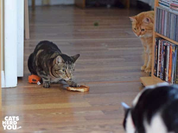 black and white tuxedo cat and orange tabby cat approach one-eyed brown tabby cat with toast