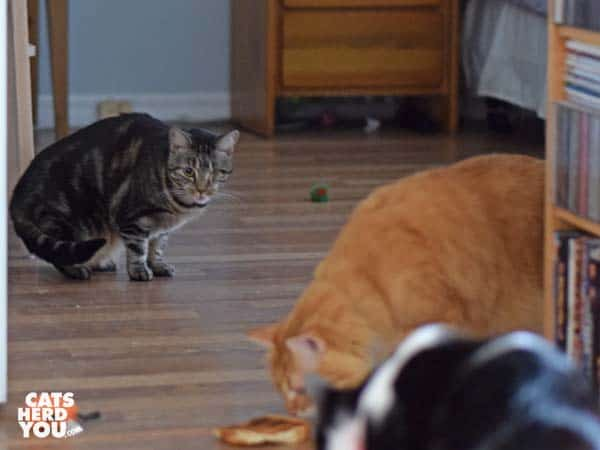 one-eyed brown tabby cat looks on as orange tabby cat and black and white tuxedo cat examine toast on the floor