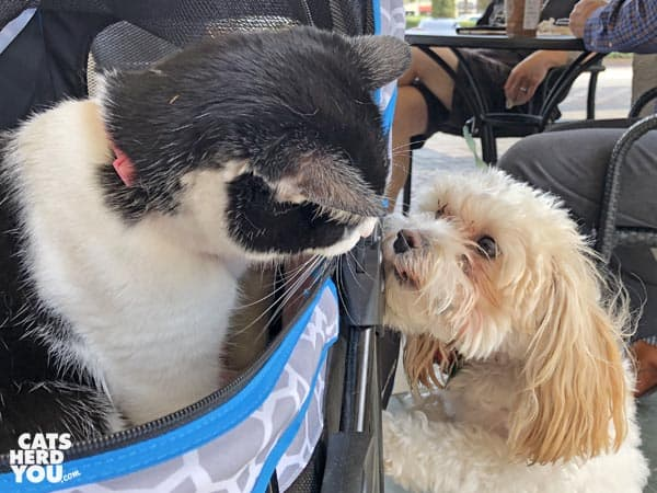black and white tuxedo cat looks at small dog
