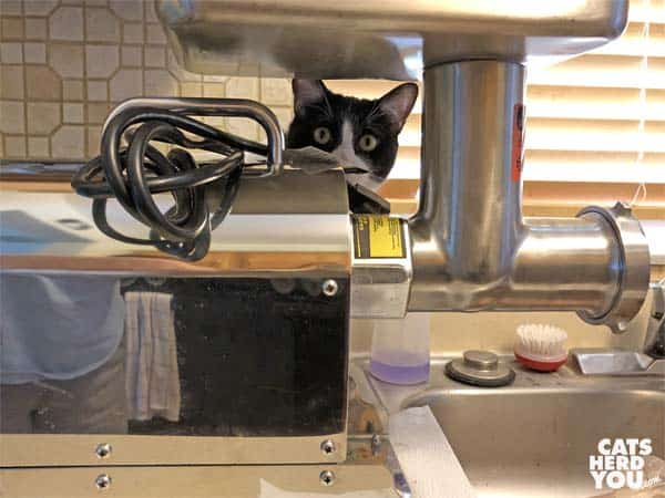 black and white tuxedo cat peeks through grinder on counter