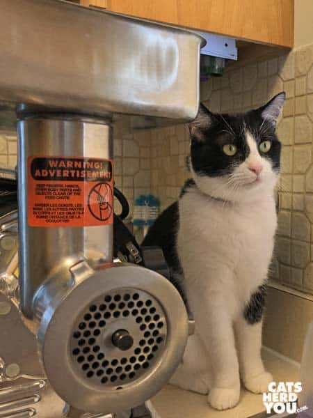 black and white tuxedo cat sits on counter behind grinder