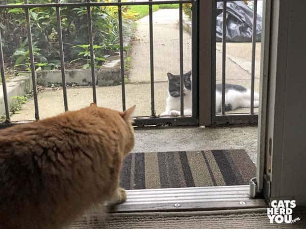 orange tabby cat looks at tuxedo cat outside